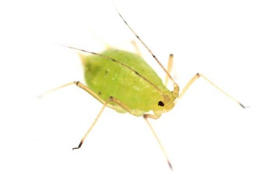 Close-up Image of aphid to help in identification