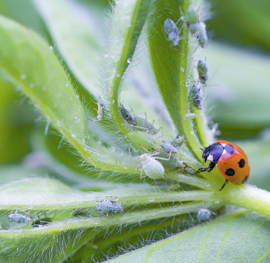 Ladybug is beneficial insect that is killing aphids on plants