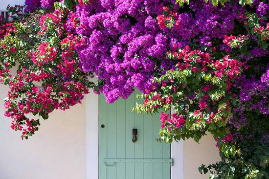 Door shaded by bougainville