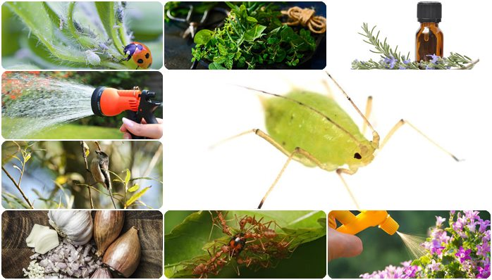 Natural Ways to Get rid of Aphids