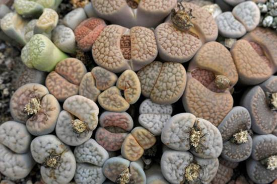 Living stones or Lithops bromfieldii), Aizoaceae