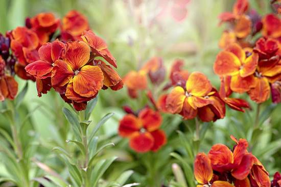 Close-up image of wallflower