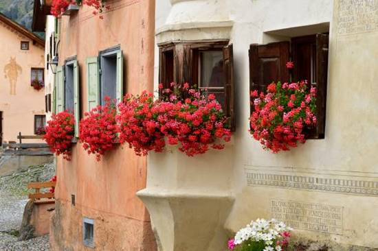 Flowering geraniums on window of a house