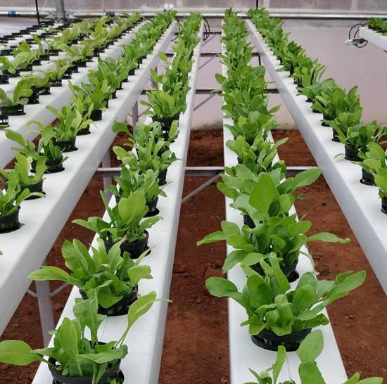 Spinach grown hydroponically
