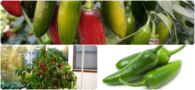 Is Jalapeno a Fruit or Vegetable? All about Jalapeno