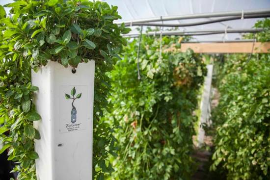 Mint in hydroponic system