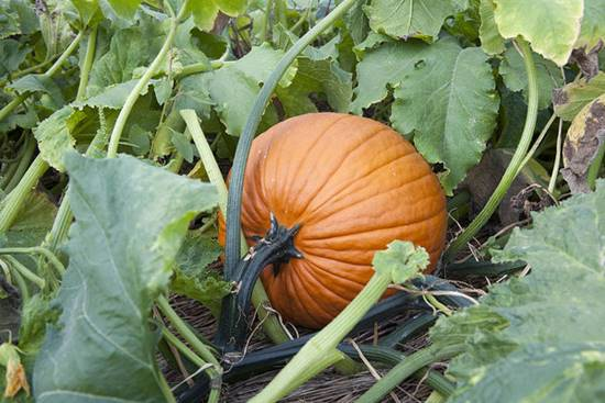 Pumpkin Growing in The Garden