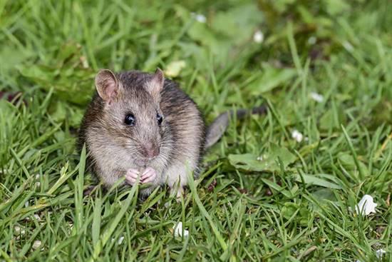 Keep Rodents at Bay