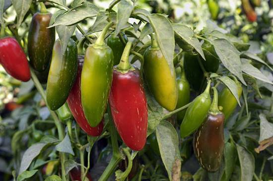 Health benefits of Jalapeno