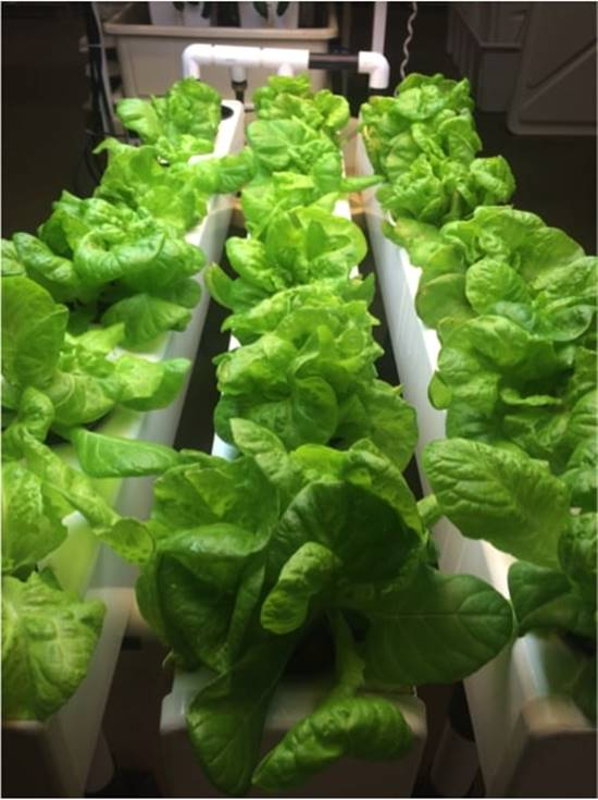 Lettuce in hydroponic system