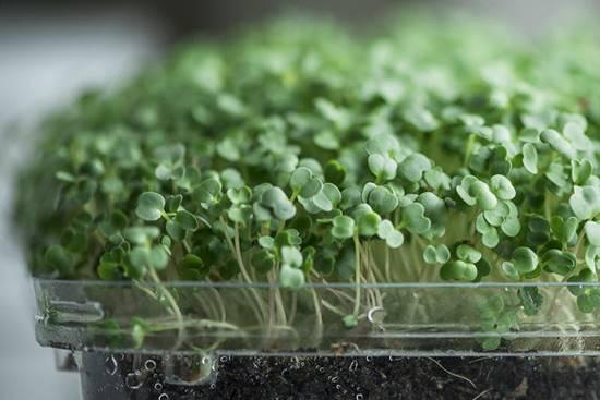 Microgreen in a Growing Medium