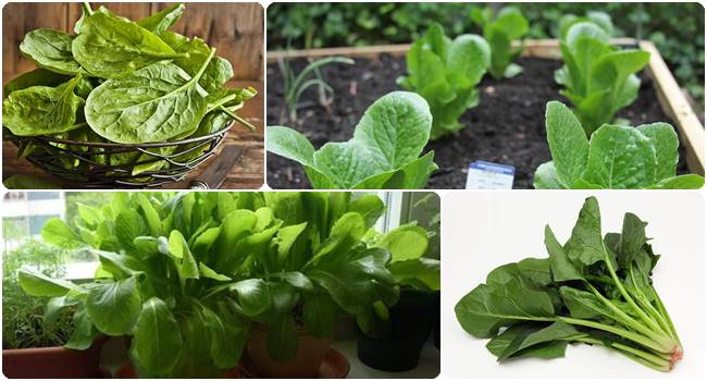 How to Grow Spinach in a Pot | Spinach Care and Grow Guide