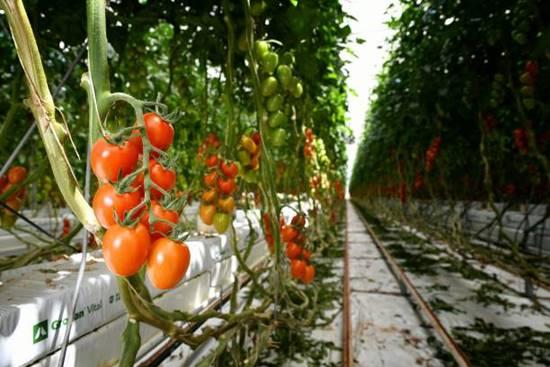 Hydroponic Tomatoes