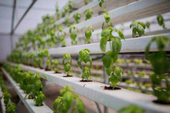 Basil grows in hydroponic system
