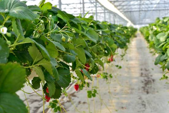 Fast growing strawberries in hydroponics
