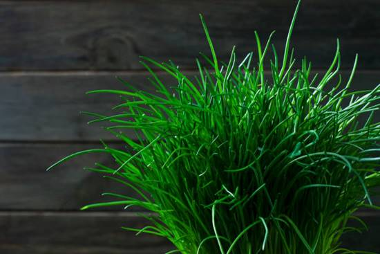 Chives close-up