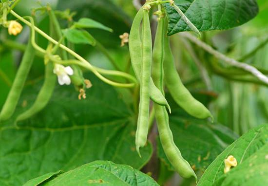 Beans in soilless system