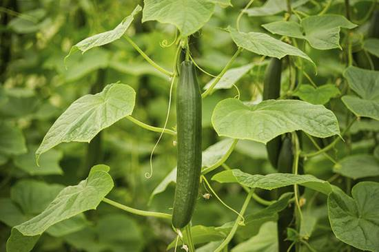 Hydroponic Cucumber Production
