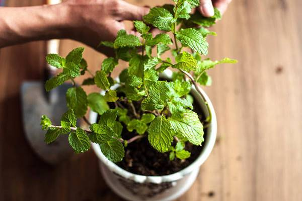 Mint plant in a shallow pot