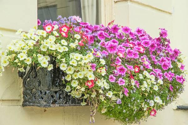 petunias on the windowsill