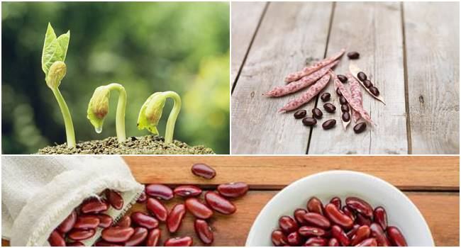 How To Grow Kidney Bean Plant At Home Growing Kidney Beans