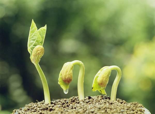 Kidney beans seedlings after germination