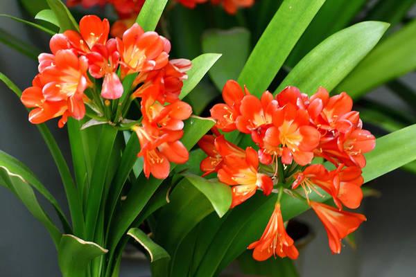 flowering clivia bush lily