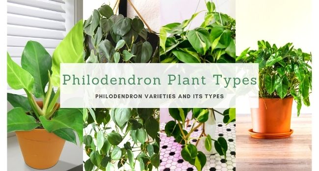 Philodendron Plant Types and Varieties