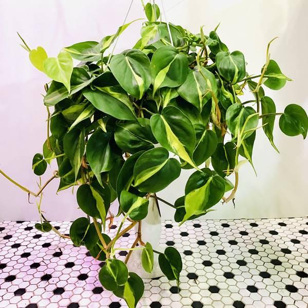 Philodendron brasil cultivar