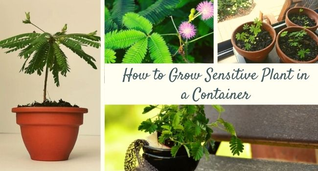 How to Grow Sensitive Plant in a Container