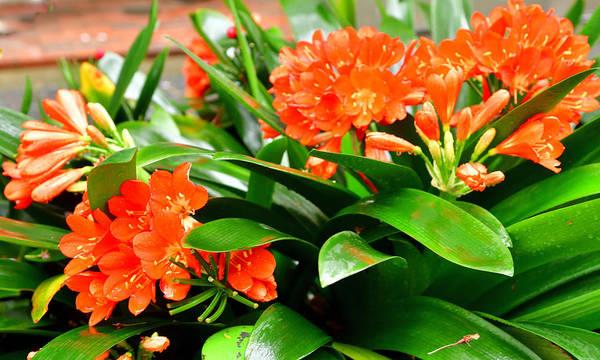 bush lily or clivia miniata