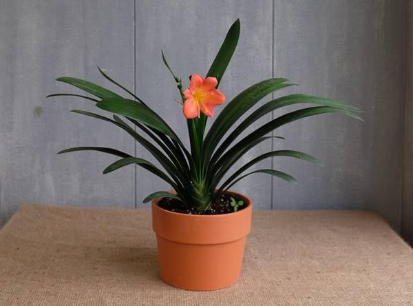 bush lily in a pot