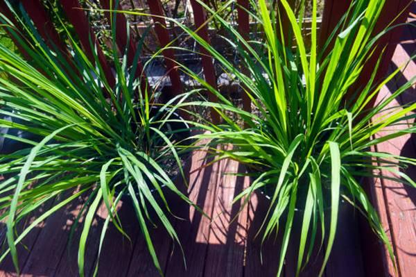 Lemongrass in a pot