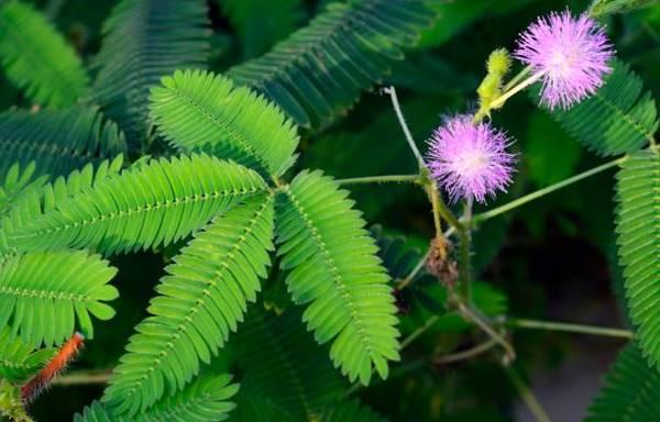 flowering sensitive plant close up