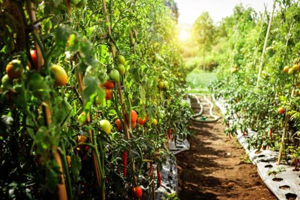 Grow tomatoes Vertically