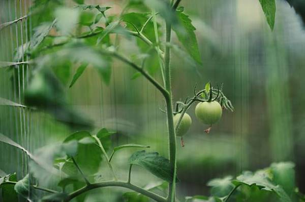 Tomatoes on a metal trellis