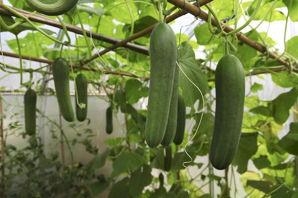 cucumber on a trellis
