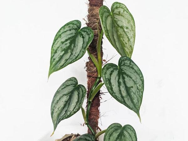 philodendron brandtianum variety