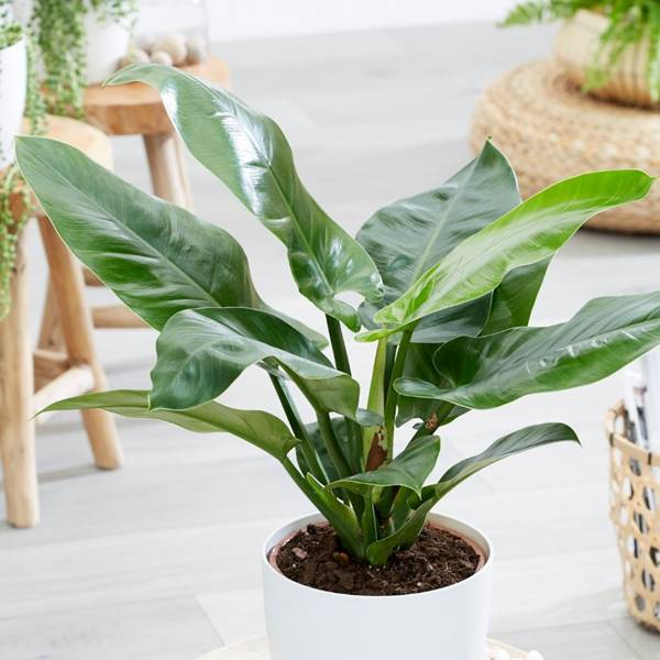 Philodendron Imperical green