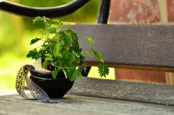 Sensitive plant care