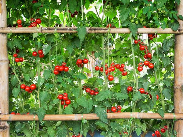 Vertically grow tomatoes on a trellis