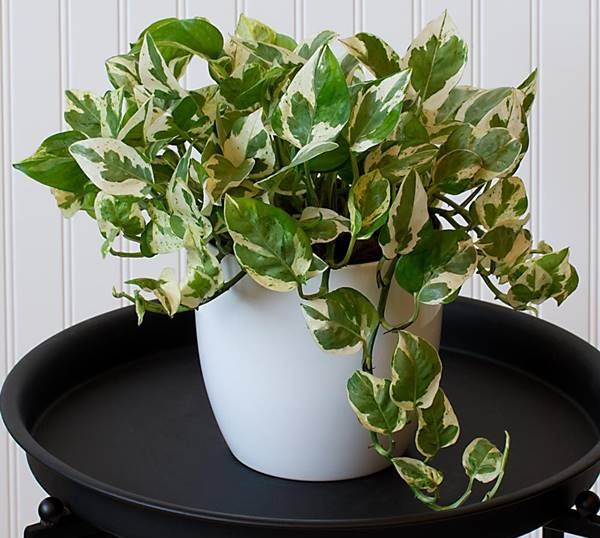 pearl and jade pothos