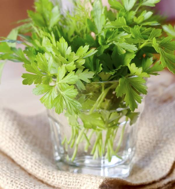 cilantro in glass of water