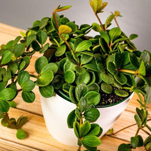 Peperomia hope in a container