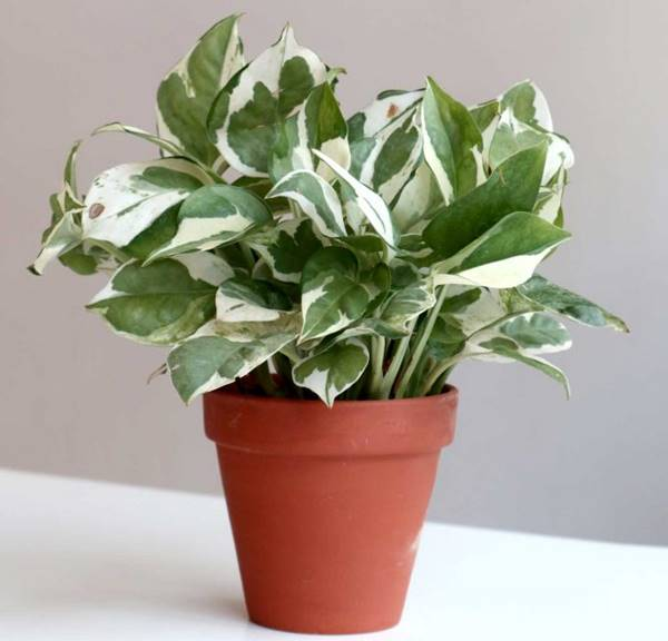 pothos n'joy in a container