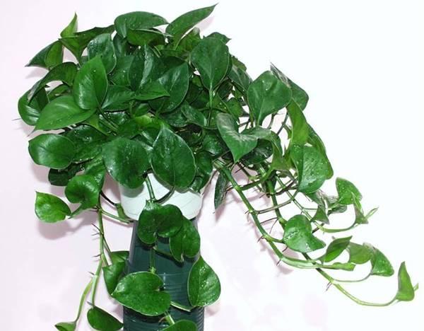 Green genie pothos