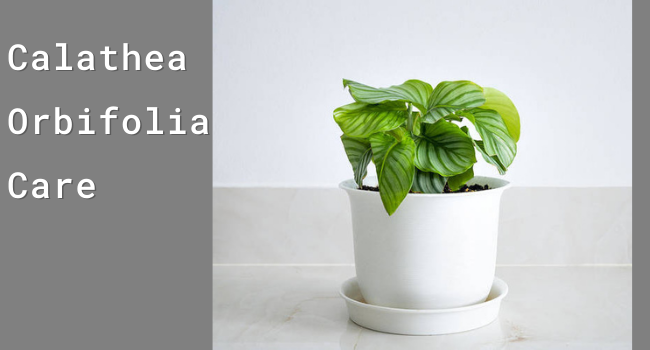 Calathea Orbifolia Care