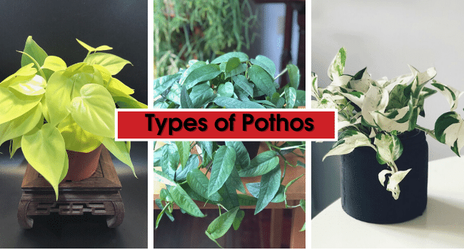 Types of Pothos plants