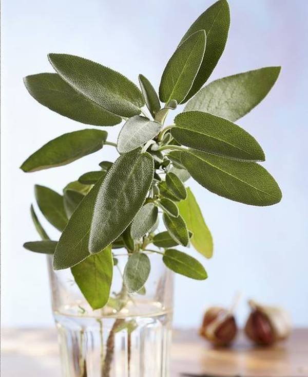 sage herb in water