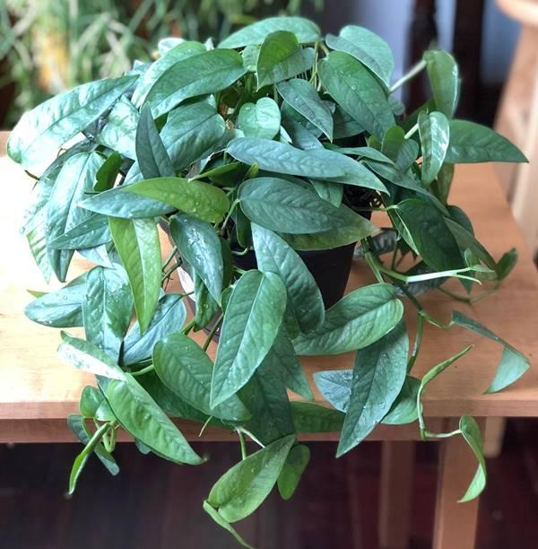 cebu blue pothos in a pot